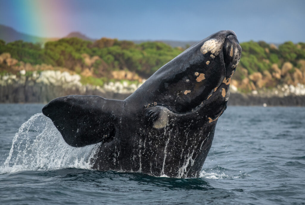 Picture Shows: A Southern Right whale, whalers gave these whales their name, as they were the right whales to hunt. This population of 35,000 was so reduced by this industry that only 35 females remained. However, since their protection, it has now grown to over 2,000 individuals. Amazingly these animals remain inquisitive and gentle around humans.