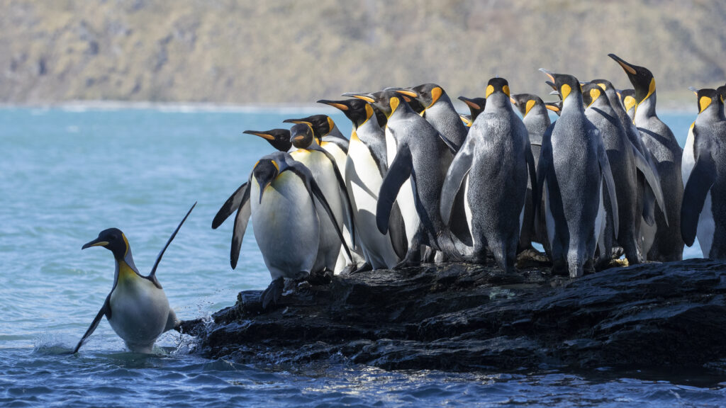 Picture Shows: Adult King penguins must head out to sea to collect food for their chicks. I watched this group walk to these rocks, and then hesitate getting into the cold water for ten minutes. Eventually one was pushed in.