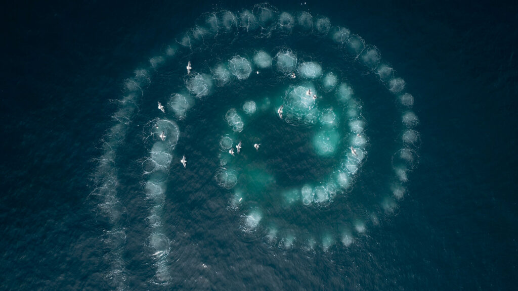 Picture Shows: Screen grab. Using a feeding technique called 'bubble netting' the humpback whales blow bubbles as they rise up under a shoal of krill. The bubbles act like a net to the krill, and they whales spiral inwards to concentrate the swarm.