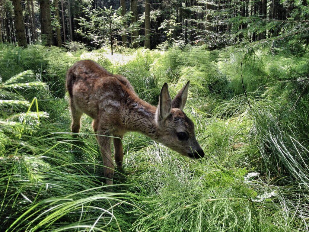 16 Rehkitz im Wald, copyright nautilusfilm