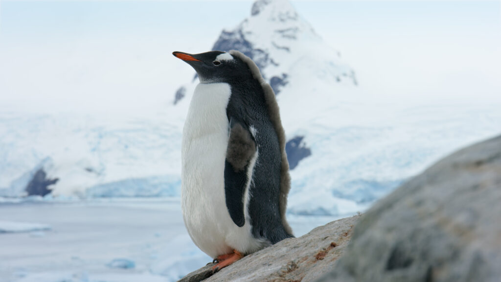Picture Shows: Screen grab. A young gentoo penguin sporting some of its remaining down feathers in the mohawk style.