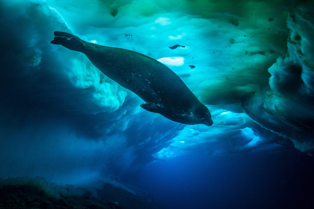 Picture Shows: The Weddell seal is the most southerly living species of mammal on the planet. It grinds a hole in the ice to keep its breathing hole open.
