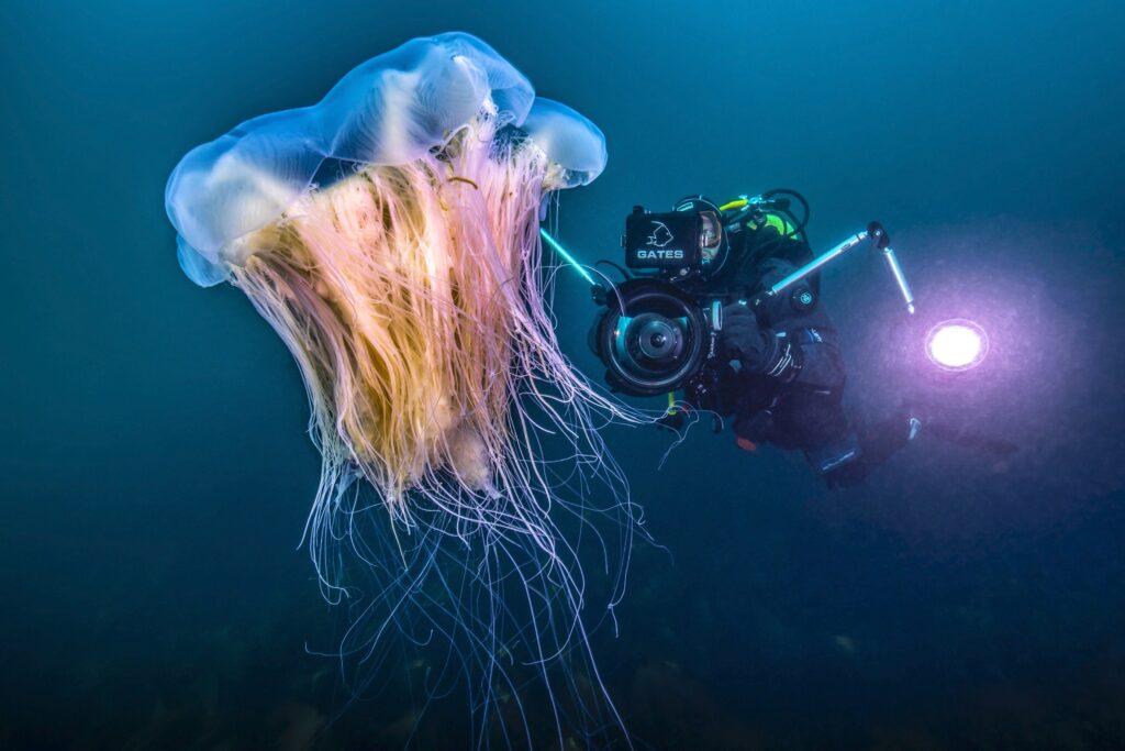 Diver behind a Lion's mane, Hericium erinaceus, (also called lion's mane mushroom, monkey head mushroom,[1] bearded tooth mushroom, satyr's beard, bearded hedgehog mushroom, pom pom mushroom, or bearded tooth fungus, Island of Grimsey, North Iceland, Polarcircle, Atlantic Ocean.